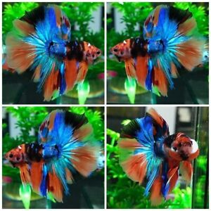 Live Fish Betta Male Premium Grade : Nemo Avatar  (halfmoon) By Thai