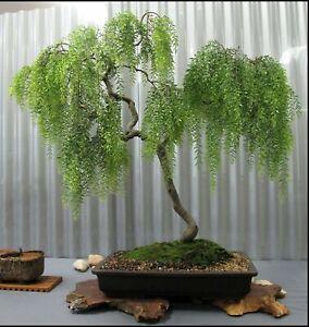 Exotic Austraulian Willow Bonsai Cutting - Grow Willow Bonsai