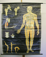 Wandbild Knochengerüst Skelett Knochenmann 114x162cm  ~1965 vintage wall chart