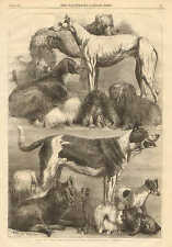Harrison Weir, Prize Show Dogs, Agriculture Hall, Islington, England, 1862 Print