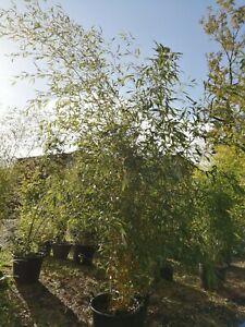 Aureosulcata Stripey Bamboo Small Clump Live Screen 2-4 stems