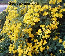 Cassia bicapsularis Christmas Senna Shurb 15 seeds