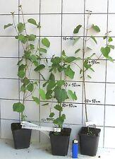 Cercidiphyllum japonicum  -   Lebkuchenbaum   -Pflanze-