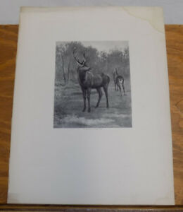 1900 Antique Animal Print///STAG IN THE FOREST