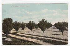 Young Apple Tree Orchard Farming Idaho 1912 postcard