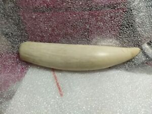 replica sperm whale tooth, made of plastic