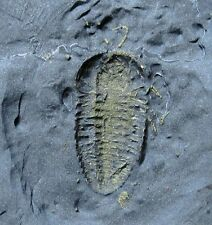 1.1 cm fossil trilobite with antennae + legs preserved - Triarthrus - NY .
