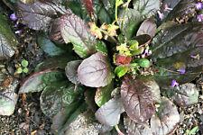 15 Purple Knockout Salvia Lyrata Lyre-Leaf Sage Lavender Blue Flower Seeds +Gift