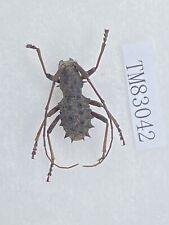 Tm83042 cerambycidae Rare W Yunnan