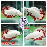 [265_A3]Live Betta Fish High Quality Male Red Dragon Plakat 📸Video Included📸