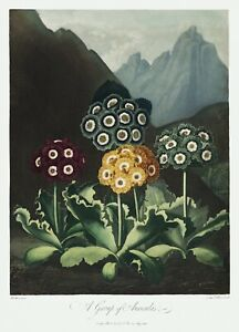 A Group of Auriculas The Temple of Flora by Robert John Thornton Print Repro v2