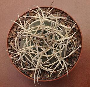 Gymnocalycium cardenasianum JO 193 Carrizal 100 seeds / RARE /cacti /succulent.