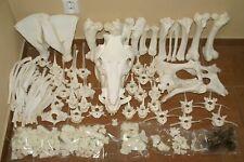 real genuine pig animal skeleton skull taxidermy anatomy vet medicine supply aid