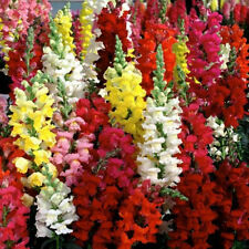 SNAPDRAGON 'Mix' 150 seeds Flower Garden colour EASY TO GROW