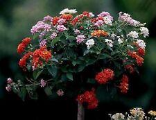 7 Monate lang mehrfarbig blühende Wandelrose Zimmerbaum Zimmerpflanze / / Samen