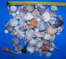 25 + Pounds Beautiful Large Seashells Sea Shells Conch