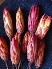 Dried Protea Natural Flower Heads Pack of 10 stems