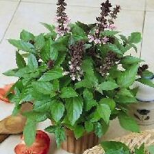0.3g (approx. 40) cinnamon basil seeds OCIMUM BASILICUM var. CINNAMON valuable h