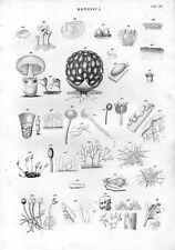 Stampa antica botanica FUNGHI dettagli 1848 Old print