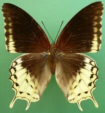 CHARAXES ORILUS FEMALE FROM TIMOR ISL