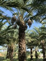 California Medjool Dates, Fall 2020 Harvest, 11 lbs