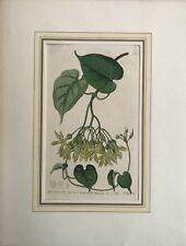 Handkolorierter Kupferstich S. Watts. Sc - Sydenham Edwards - Botanik Pergularia