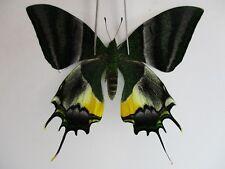 PA2950. Unmounted butterflies: Teinopalpus imperialis.Central Vietnam.Over 2000m