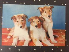 Postcard Unused Three Important Guys.Young Collie Puppies