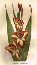 Parlor Annual Hand-Colored Woodcut -c1850- GLADIOLUS NATALENSIS