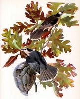 Audubon Canada Jay 15x22 Hand Numbered Ltd. Edition bird Art Print