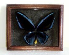 Ornithoptera priamus urvillianus male in frame of real wood !!