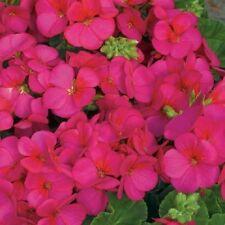 50 Geranium Film Coated Multibloom Rose Multi Bloom Geranium Seeds Bulk Seeds