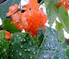 Begonia Coccinea ( PEACH PARFAIT ) Indoor~Spotty Leaves~1 Plant
