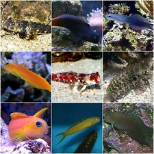 x10 ASSORTED BLENNY FISH - SALTWATER - YOURFISHSTORE - *BULK SAVE FREE SHIPPING