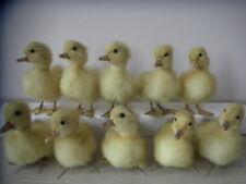 Taxidermy 10 Real decorative MALE duck duckling Stuff Bird Ornaments toys