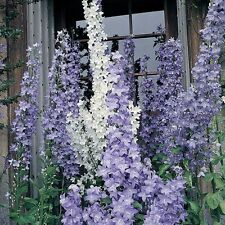 Campanula Cottage Mixed Seeds - 150 Seeds - Hardy Perennial