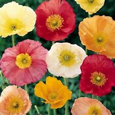 "Iceland Poppy Mix ""Papaver Nudicale"" 500 Seeds"