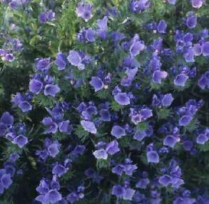Echium plantagineum 'Bedder Blue' / Hardy annual / 2g (500) seeds