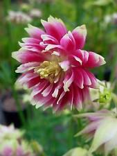 25 graines ANCOLIE ROSE DOUBLE(Aquilegia Vulgaris)G228 COLUMBINE SEEDS SEMILLAS