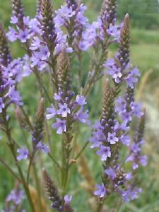 Verbena hastata 'Blue Spires' / Blue Vervain / Hardy perennial / 50 Seeds