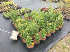 Trauer-Birke (Betula pendula 'Youngii'), Baum, Rarität, Jungpflanze ca. 70 cm