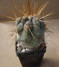 Kakteen – Kaktus – Copiapoa haselton - 4cm Durchmesser - Aussaat 24.02.2008