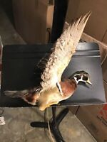 DUCK With Wings Up, Has Hook To Be Hung On Wall- TAXIDERMY Pre-Owned