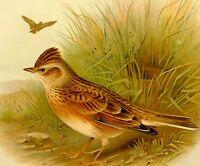 1907 Antico Uccello Stampa ~ Skylark
