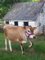 Cow, Bull, Yearling, Calf, Newborn Cattle Halter USA Made