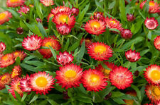 strawflower, TALL DOUBLE MIX 80 SEEDS! GroCo