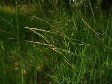 Manna Grass – Glyceria fluitans – heirloom Slavic bog cereal – 200 fresh seeds