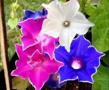 20+  Kikyo-Zaki Mix  Flower Seeds  / Morning Glory /  Perennial