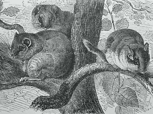 c1894 Antique Mouse Print SQUIRREL TAIL DORMOUSE Royal Natural History Lydekker