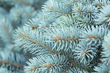 10 Colorado Blue Spruce Tree Seeds Home Landscape Christmas Tree